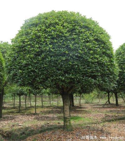 桂花树多少钱一棵?成都桂花树价格