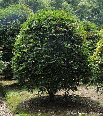 桂花笼子种植技术「温江桂花笼子批发」
