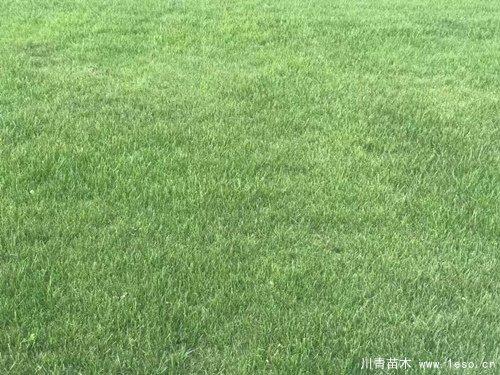 在成都市场台湾二号草坪多少钱一平方?