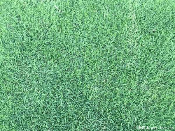 台湾草跟狗牙根有什么区别?