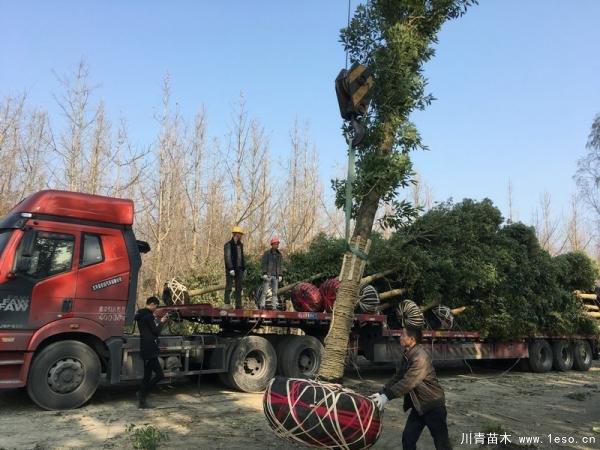 温江金丝楠木发往长沙