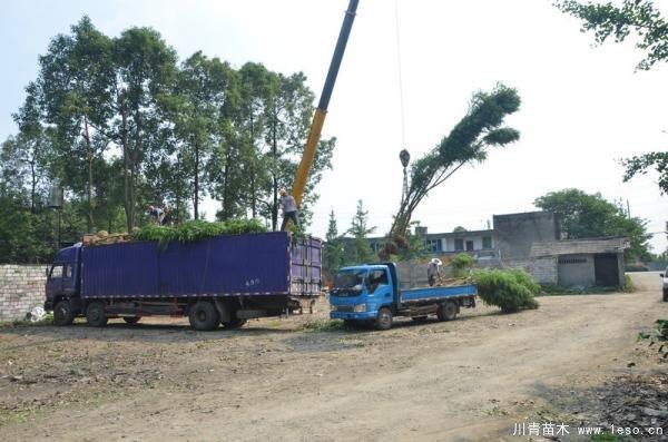 温江蓝花楹发往泸州