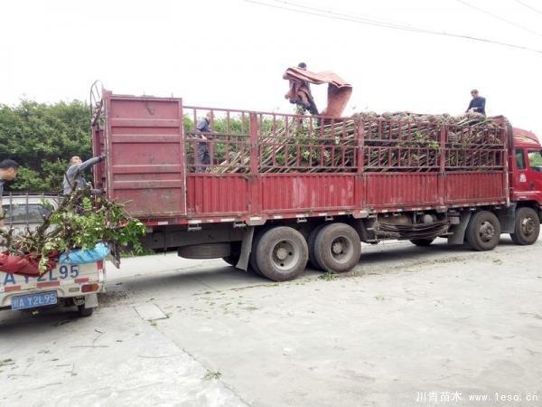 温江苗木混装发往运城